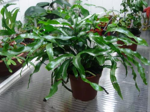 Microsorum diversifolium Dsc02313