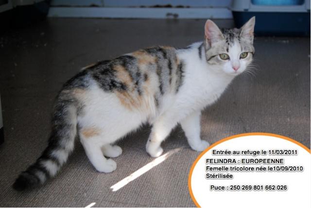 FELINDRA EUROPENNE TRICOLORE - 6 mois _felin10