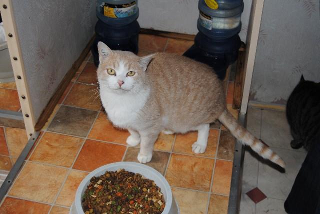 Epi d'Or - Chats roux tigré - 2 ans Dsc_0313