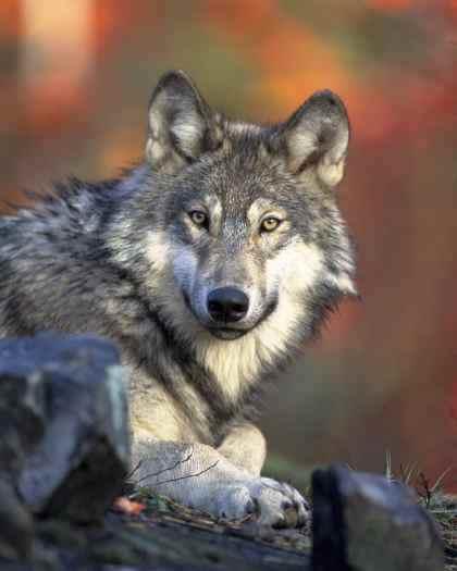 William Siegfried- Alpha Male of the Werewolves Grey-w10