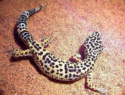 Photos pour Revotom's .... Gecko_10