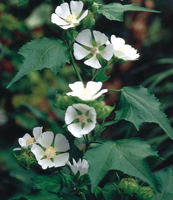 Kitaibelia vitifolia 00000010