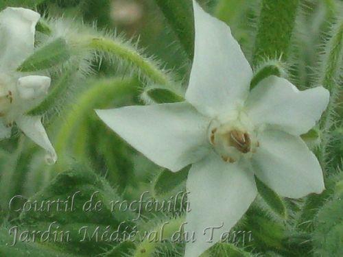 Borago officinalis Alba 24030910