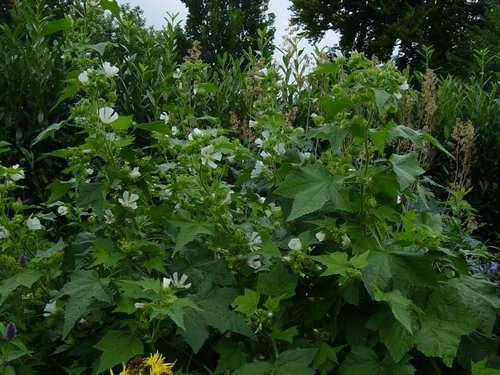 Kitaibelia vitifolia Kitaib10
