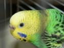 Enfin !!! mes petites boules de plumes !!!! En Photos!!! Perruc23