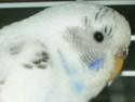 Enfin !!! mes petites boules de plumes !!!! En Photos!!! Perruc35