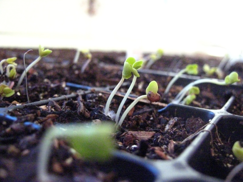 Broccoli Seeds Sprouted Img_3116