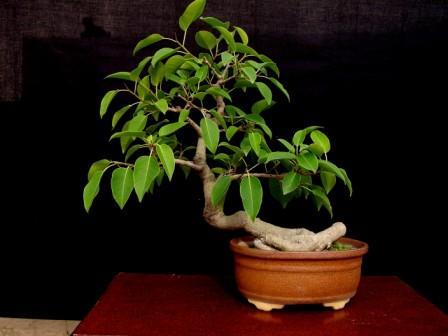 Ficus benjamina, an old friend Ficus10