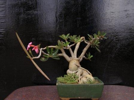 desert rose P1010910