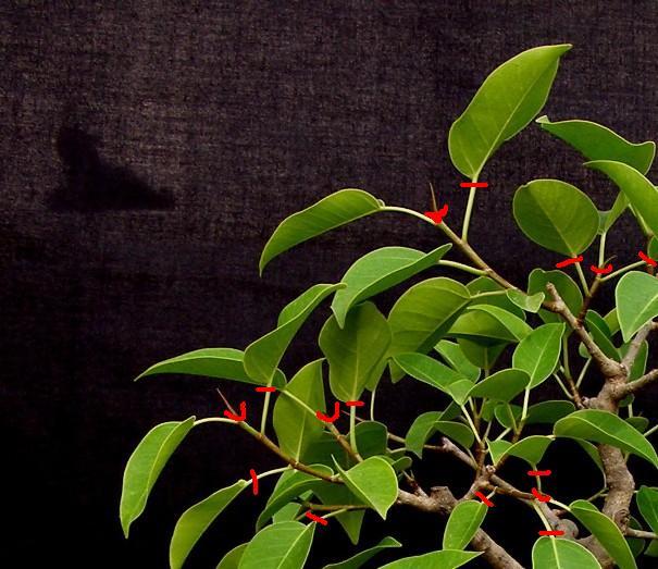 Ficus benjamina, an old friend P1012510