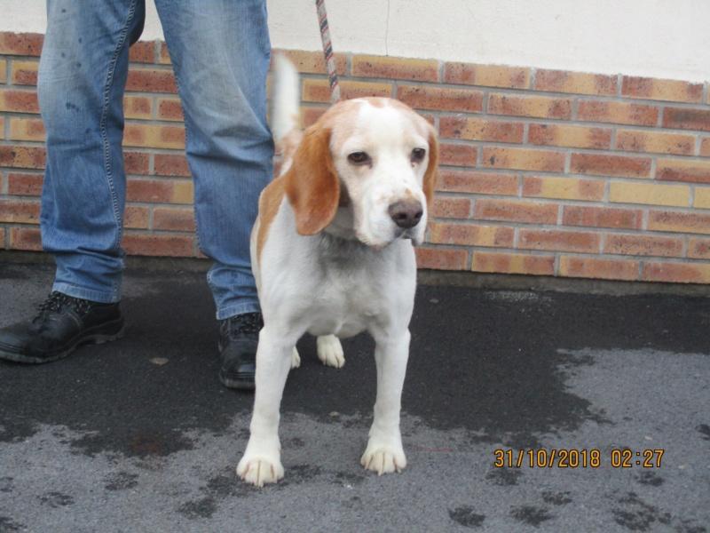 BOOBA (ex Itam) beagle male 10 ans  de Béthune - association beagle en nord  (59) 45096510