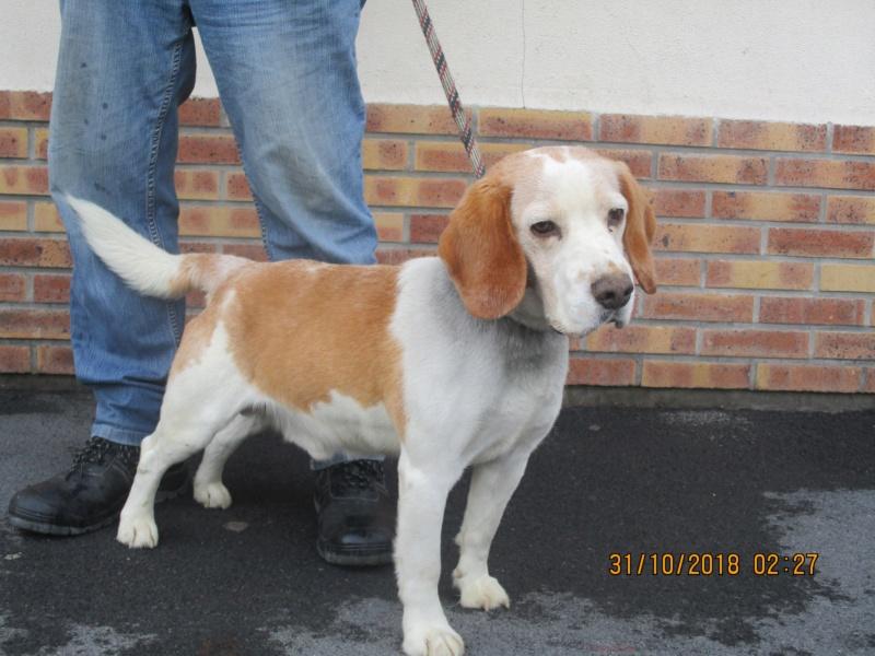 BOOBA (ex Itam) beagle male 10 ans  de Béthune - association beagle en nord  (59) 45192010
