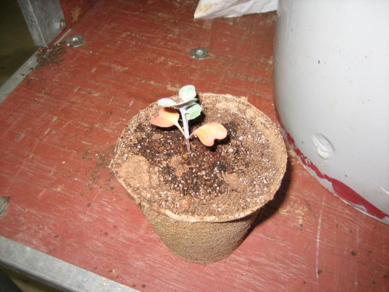Brocolli seedlings Img_2814