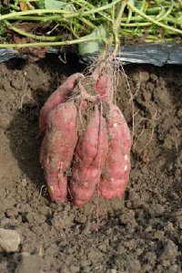 how do you grow sweet potatoes in a SFG? Sweet-11