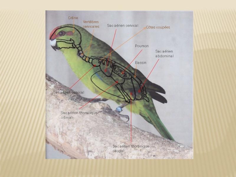 Appareil respiratoire  du kakariki dans l'oiseau Ap_res10