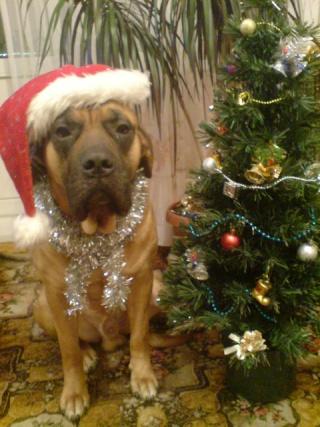 """""""Новогодняя собака"""" Dsc00710"""