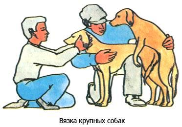 Половое созревание собак, течка, вязка Vyaz110