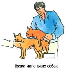 Половое созревание собак, течка, вязка Vyazmp10