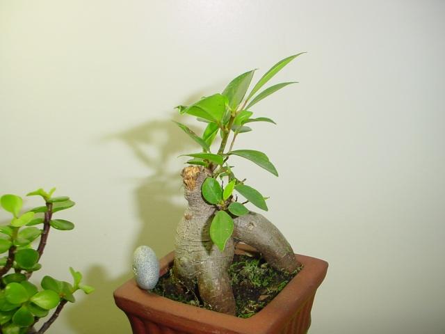 Encouraging new growth on trunk Bunsai18