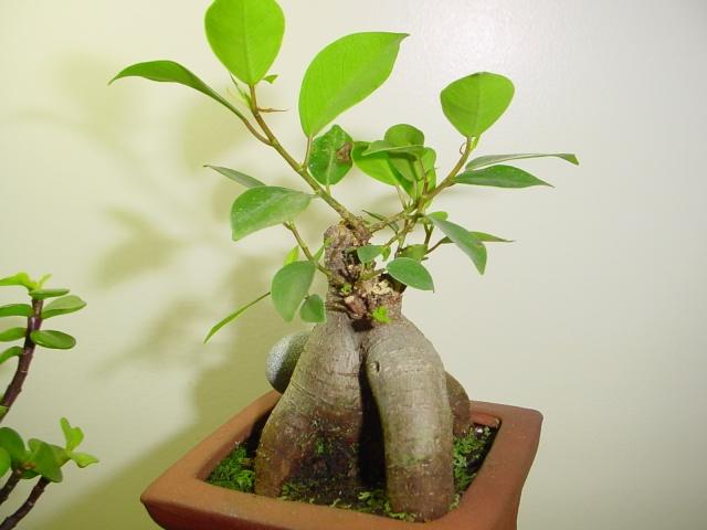 Encouraging new growth on trunk Bunsai19