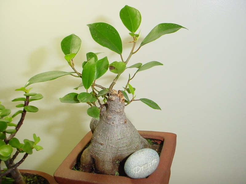Encouraging new growth on trunk Bunsai20
