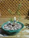 Pinus Kokomoe P1000311