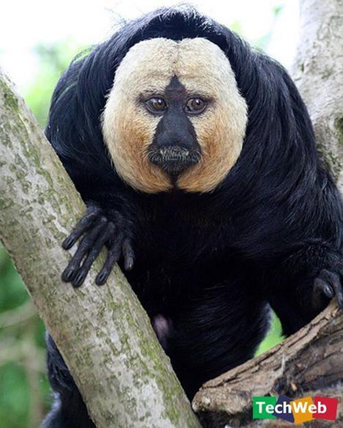 Binatang-binatang pelik di luar negara Ape10