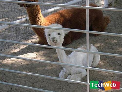 Binatang-binatang pelik di luar negara Llama10