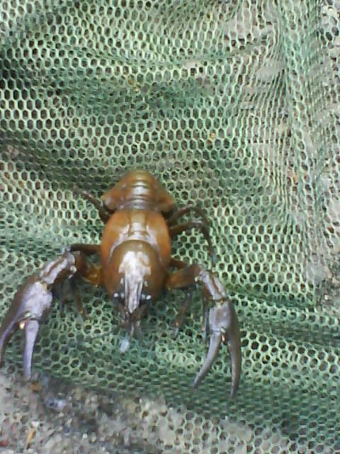 Any1 now wot sort off crayfish this is??? Crayfi15