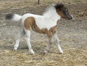 Mini Horse Pinto filly with 1 blue eye for sale. Miracl10
