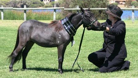 Stunning Small Horse colt. Spud11