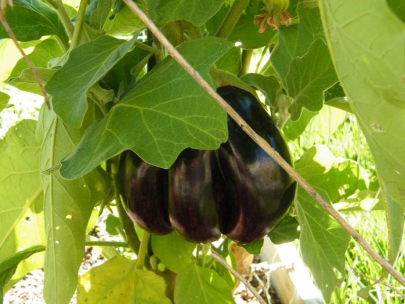 Save the last eggplant for me 10_nov22