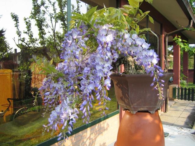 Una bella fioritura Img_4014
