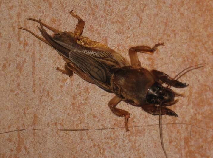 Quel est cet insecte bizarre vu dans l'Hérault Img_5211