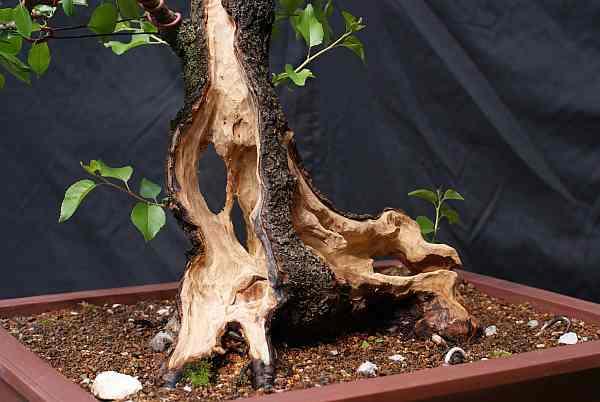 Prunus mahaleb 2005 - 2010 0118_010