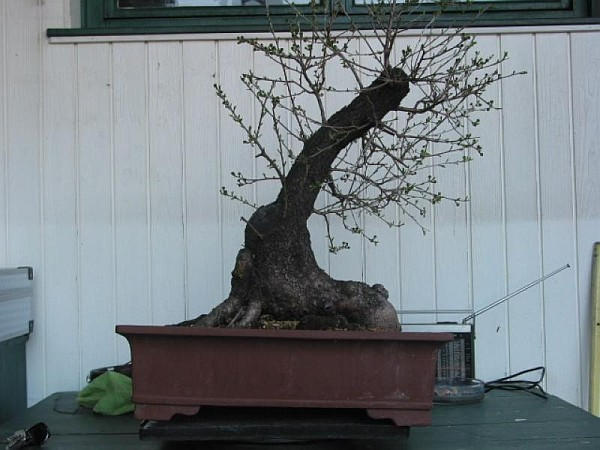 Prunus mahaleb 2005 - 2010 012_2325