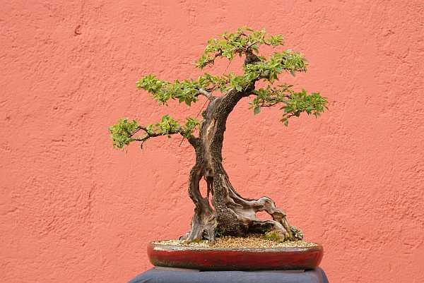 Prunus mahaleb 2005 - 2010 0144_210