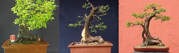 Prunus mahaleb 2005 - 2010 0144b_10