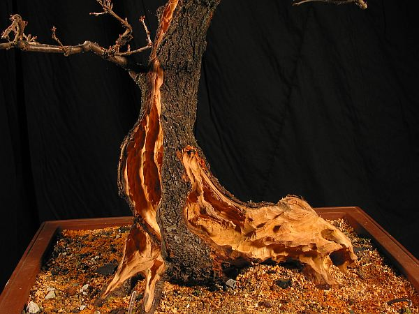 Prunus mahaleb 2005 - 2010 068_2310