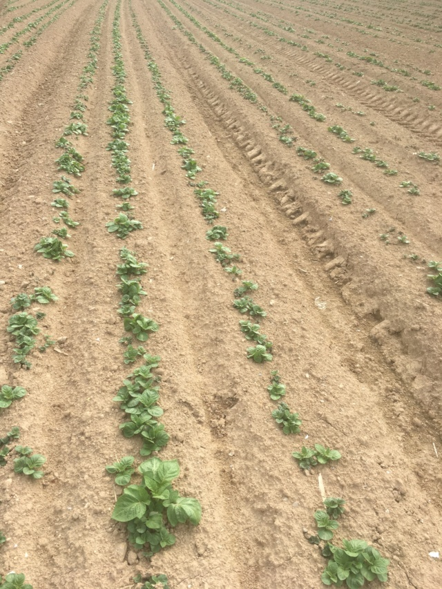 Évolution des cultures de pommes de terre 2019 - Page 4 Rmc_pd10