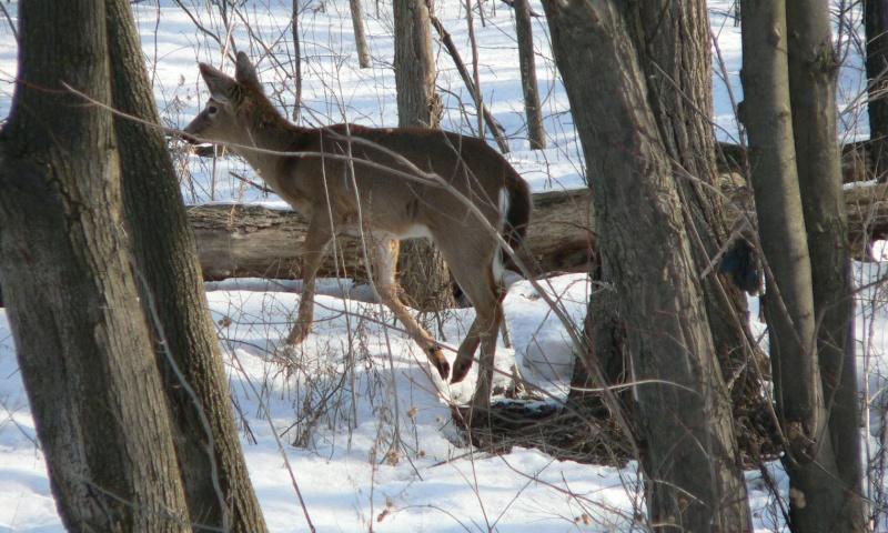 Voici ce que j'ai vu dans ma cour arrière ce matin... Chevre10