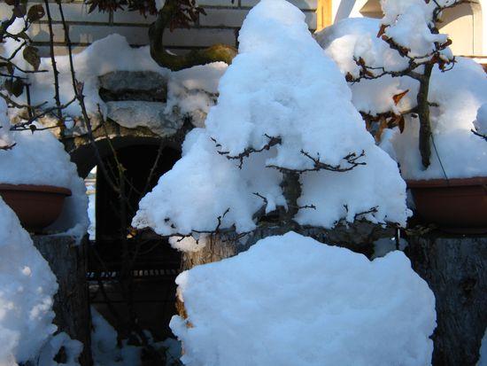 Bonsai sotto la neve Immagi11