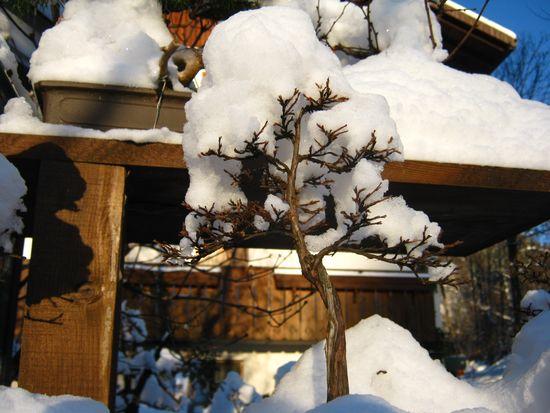 Bonsai sotto la neve Immagi12