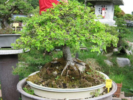 Per gli amanti del bonsai........ Immagi29