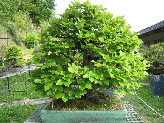 Per gli amanti del bonsai........ Immagi30
