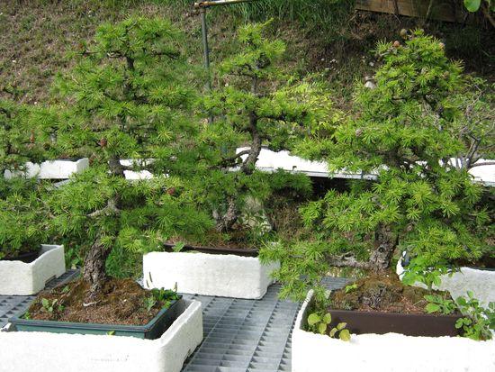 Per gli amanti del bonsai........ Immagi32