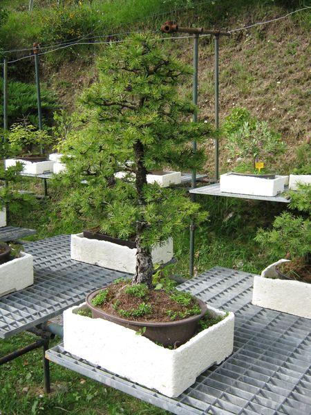Per gli amanti del bonsai........ Immagi33