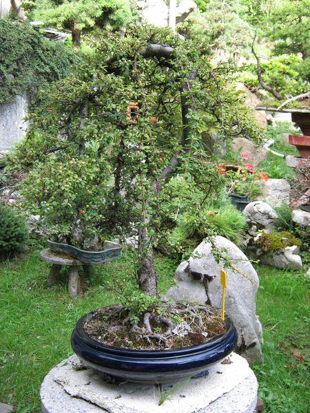 Per gli amanti del bonsai........ Immagi38