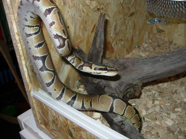 dernier arrivant à la maison Python10