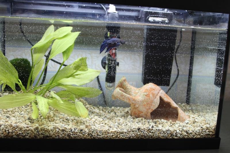 Problème nageoire & betta qui tombe au fond de l'aquarium Img_6911